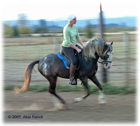 Paisano SMR 3313 Spanish Mustang stallion