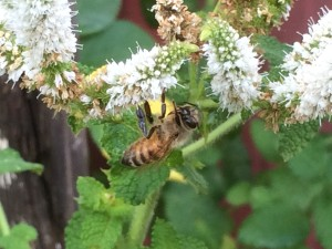 Bees love mint